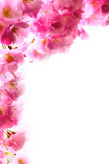 Naklejka Na szklane drzwi i okna holiday background with spring pink cherry blossom, sakura flowers branch