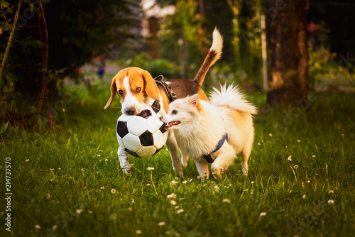 Fotografie, Obraz  Beagle and german spitz klein playing together and running in green park garden