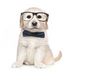Cute Golden Retriever Puppy Wi...