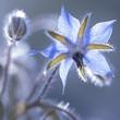 canvas print picture - Blaue makro Blüten des Borretsch (Borago officinalis)