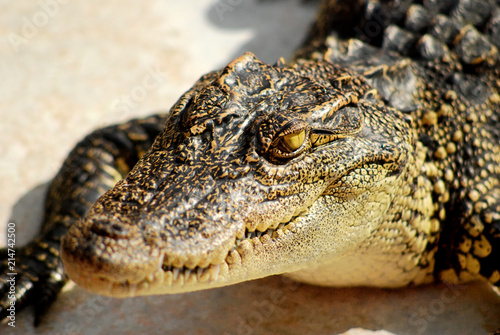 Foto op Aluminium Krokodil Close up head of crocodile