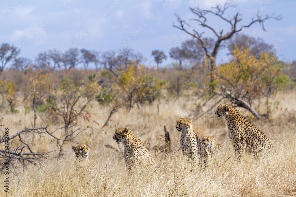 Cheetah in Kruger National park, South Africa ; Specie Acinonyx jubatus family of Felidae