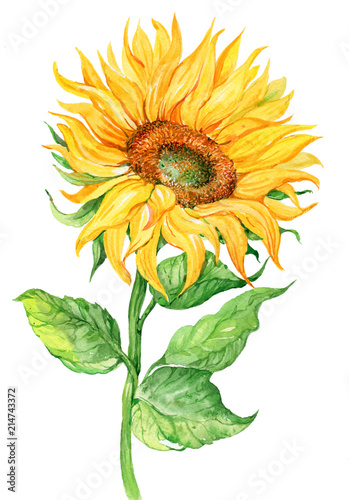 Sunflower, watercolor illustration