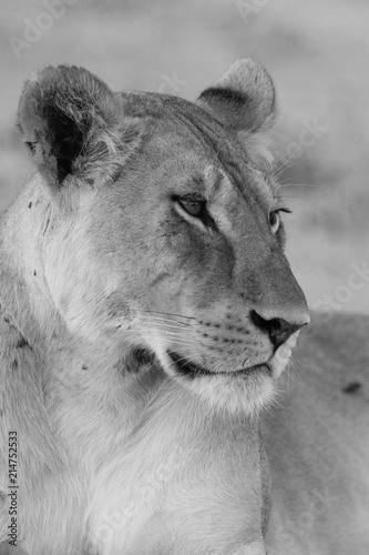 Zdjęcie XXL kalahari Lioness Frame 3