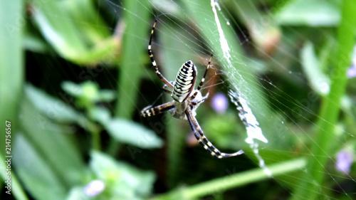 Plakat Żółty pająk. Tło owadów