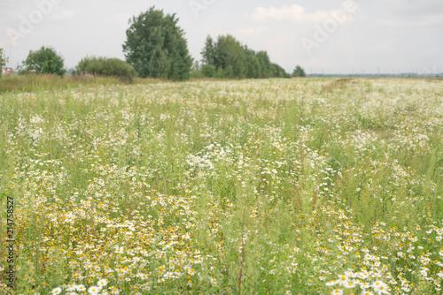 Foto op Aluminium Platteland field of daisies