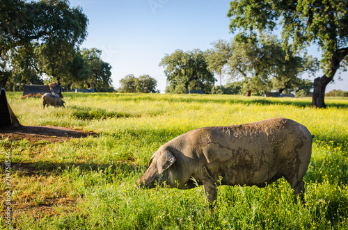 Foto  portrait of Iberian pig herd (pata negra) in a flower field