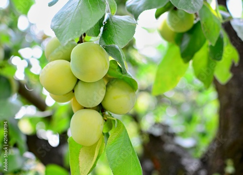 Closeup of the bunch of growing ripe greengage plums on the tree.