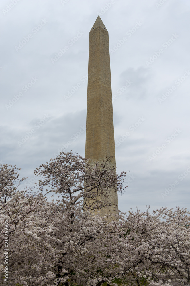 Fotografia  Washington Monument surrounded by blossoming almond trees