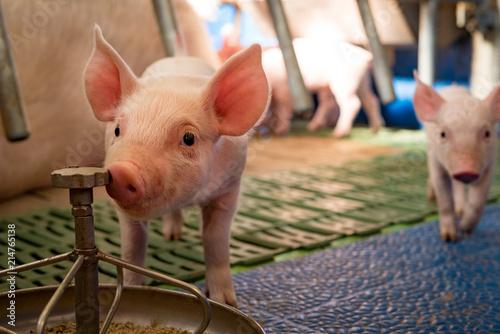 Fotografía  Schweinehaltung - Ferkel an einer Futterschale