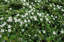 Branches Of Cotoneaster Horizontalis Covered With Small White Flowers