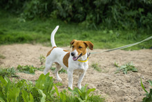 Attentive Jack Russell Terrier On A Leash, Ready To Run And Play