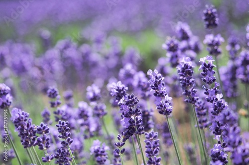 Tuinposter Lavendel Violet lavender blooming fields in furano, hokaido, japan.Closeup focus ,flowers background.