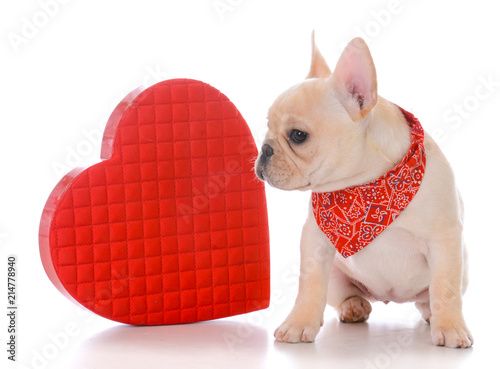 Fotobehang Franse bulldog female french bulldog