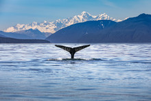 Scenic Alaska With A Whale Tai...