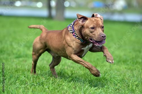 Slika na platnu a brown pit bull plays