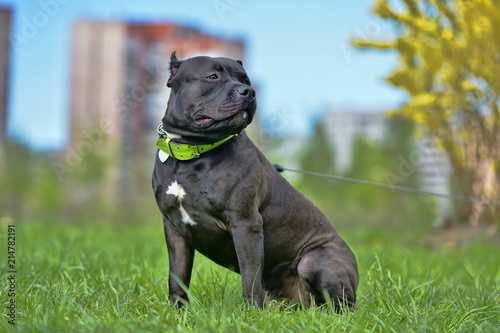 Fotografering  American Bully Dog Breed