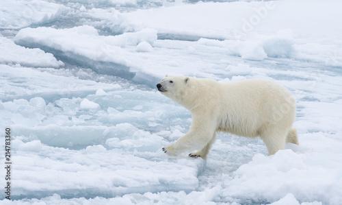 niedzwiedz-polarny-chodzi-w-arktycznym