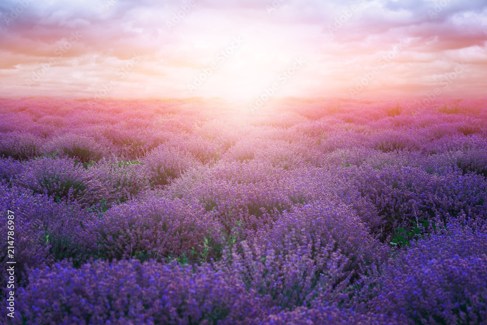 Fototapety, obrazy: Beautiful lavender field on summer day