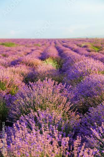 Fototapeta Beautiful lavender field on summer day obraz na płótnie