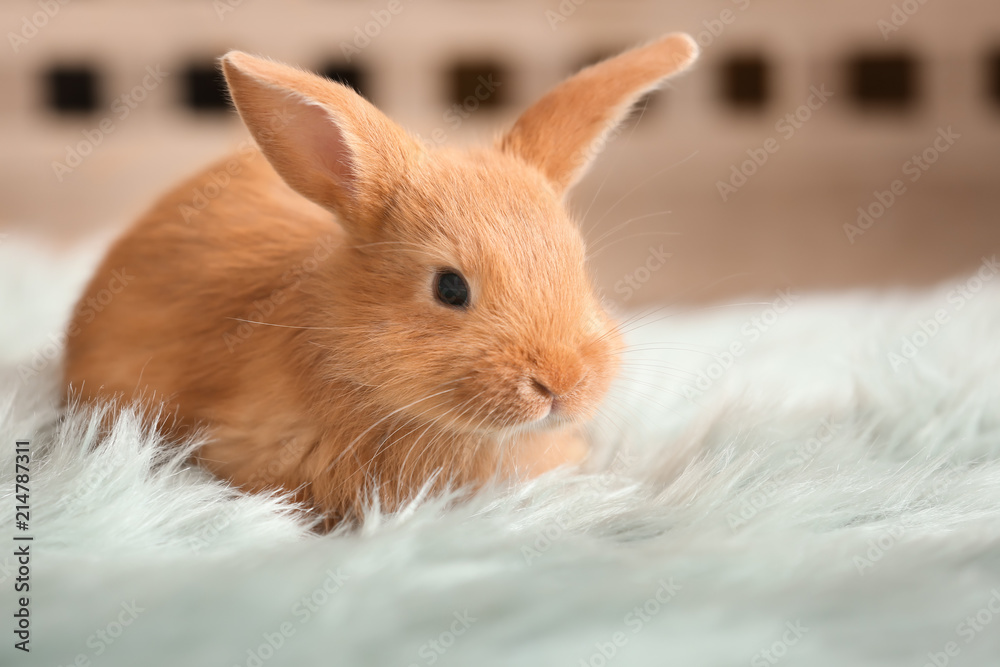 Fototapety, obrazy: Cute fluffy bunny on floor at home