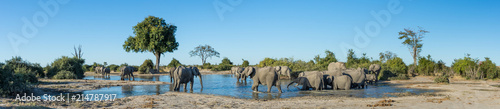 Photo  A colour, panorama image of a herd of elephants, Loxodonta africana, bathing and drinking at a dwindling waterhole in Savute, Botswana