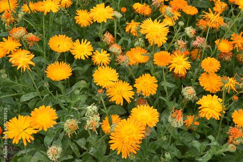 Fotografía  Souci orange au jardin