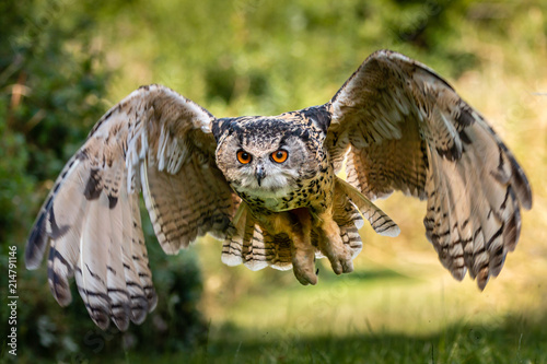 Fotobehang Uil A beautiful, huge European Eagle Owl flying low over fields and trees