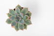 Succulents on White Background