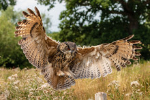 Huge, Majestic Eagle Owl In Fl...