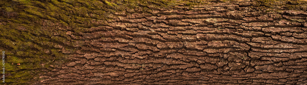 Fototapety, obrazy: Embossed texture of the bark of oak. Panoramic photo of the oak texture.