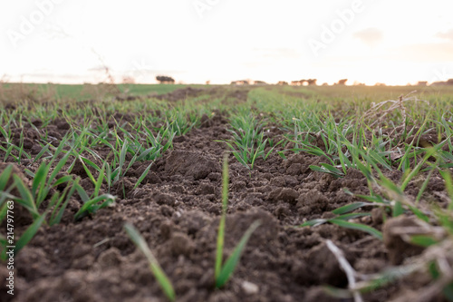 Fotografía  sunset over agricultural green field