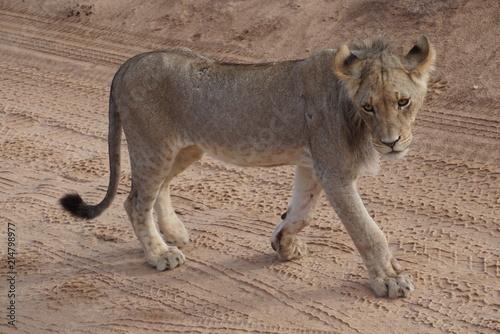 Zdjęcie XXL Lwy - Kalahari - Kgalagadi Transfrontier Park