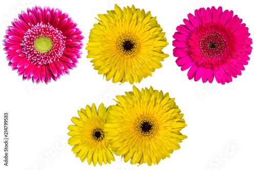 Close up of colorful African Daisy flower or Transvaal Daisy flower or Gerbera flower group isolated on white background with clipping path. Top view of Gerbera flower group on white pattern.