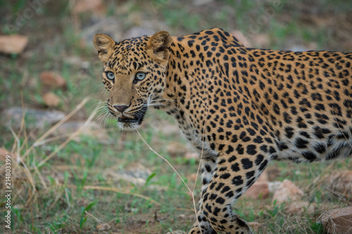 Tuinposter Luipaard A stare by Female leopard at jhalana forest area