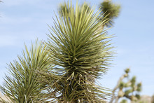 Joshua Tree Plant Close Up