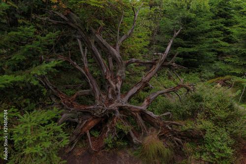 Fotografia  Wurzel eines umgestürzten Baums am Lotharpfad