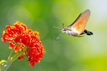 Hummingbird Hawk-moth Flying T...