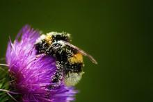 Bourdon Et Pollen