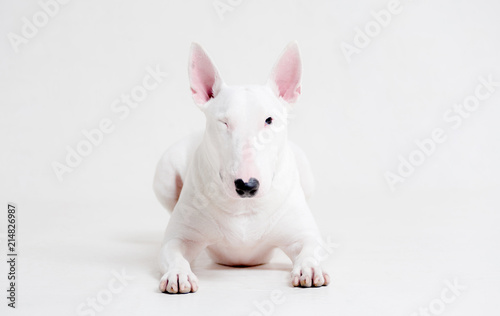 Fotografía White bull Terrier lies on a white background and winks an eye, one eye closed
