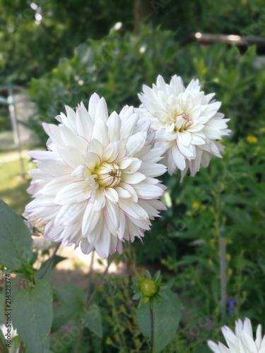 Weiße Dahlie Im Garten Blume Im Garten Buy This Stock Photo And