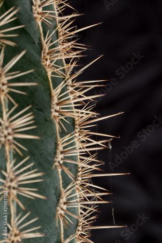Foto op Plexiglas Cactus Cactus spines close up against a black background. Vertical photo