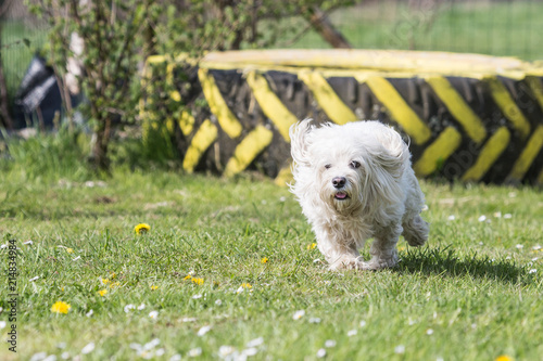 Fotografia, Obraz  Portrait of a bichon dog living in Belgium