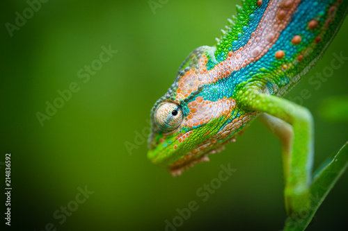 Spoed Foto op Canvas Kameleon Close up image of a chameleon with vivid colors on a green background