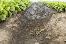 Wet Dirt Row Between Lettuce In The Industrial Agricultural Field