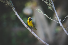 Close Up Image Of A Common Weaver Sitting On A Tree Branch