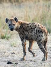 Spotted Hyena Zambia Africa