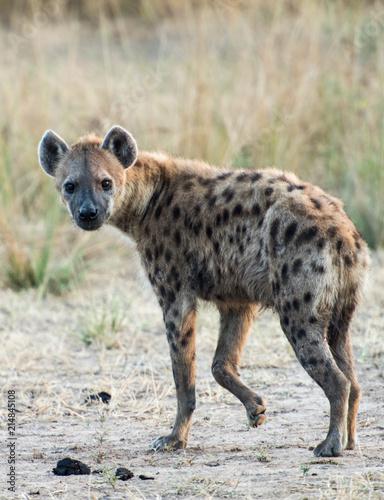 Foto op Plexiglas Hyena Spotted hyena zambia africa