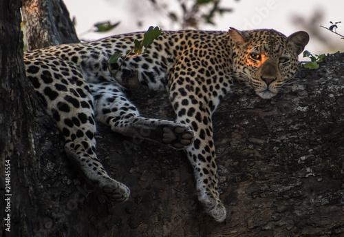 Plakat Africa gałąź lamparta drzewo