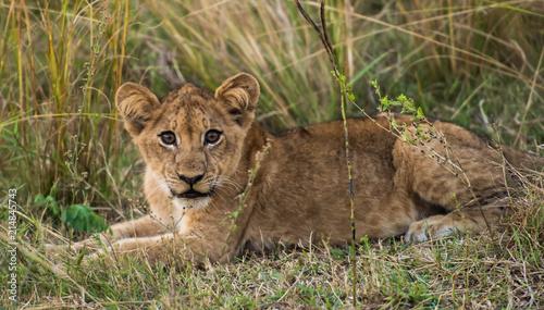 Zdjęcie XXL Lion Cub Cat South Luangwa Zambia